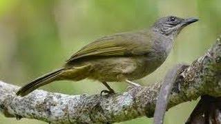 Burung Master : Suara Kicauan Kapas Tembak Variasi Banyak