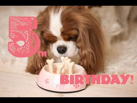 💗🐶Lilly's 5th Birthday! | Cavalier King Charles Spaniel Lilly