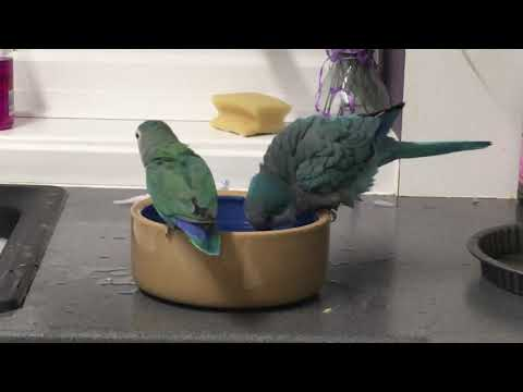 Quaker Parrot Behaviour