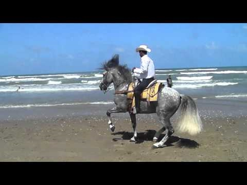 THE BEST DANCING HORSE OF THE WORLD AT SOUTH PADRE ISLAND