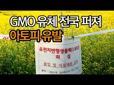 GMO 유채 전국에 퍼저, 아토피 유발 ?