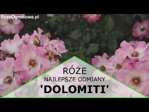 Ciekawe odmiany róż ogrodowych