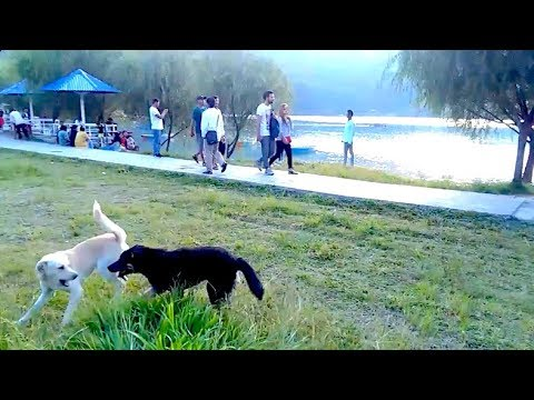 Dogs having fun by the lake interrupted by a villain