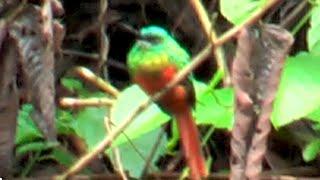 ➊ Bluish-fronted Jacamar Galbula cyanescens Blaustirn-Glanzvogel Jacamar Verde
