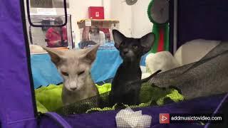 Ориентальные кошки на выставке