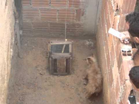 ratoeira caseira pegou 3 ratos de uma vez