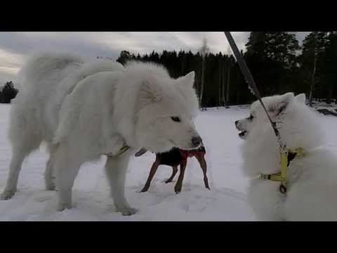 [#117] My Japanese Spitz () meets the Samoyed for the first time