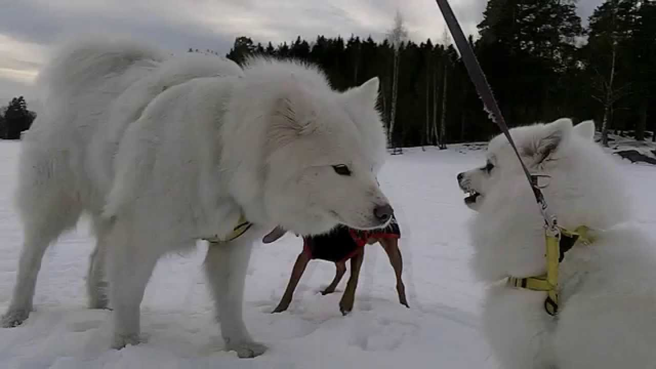 117 My Japanese Spitz 日本スピッツ Meets The Samoyed For The