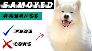 Samoyed Pros And Cons | The Good And The Bad