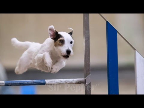 Sir Pepper an der Agility EO Quali 2016