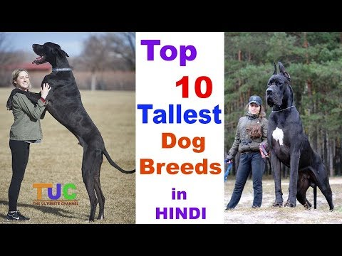 Top 10 Tallest Dog breed In HINDI : Tallest Dogs : TUC : The Ultimate Channel