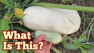 What Is This? A Courgette/Marrow or A Pumpkin?