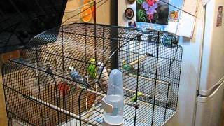 Волнистые попугаи. Клетка для волнистых попугаев