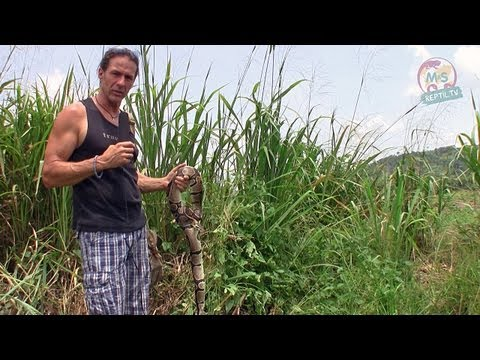 Reptil.TV - Folge 42 - Python-Jagd in Ghana