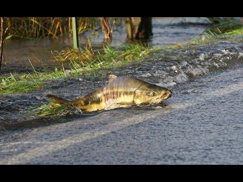 Skokomish River Salmon Cross The Road/Part 1