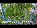 QUIERES PLANTAS DE MARACUYA, PARCHITA O CHINOLA ENANA Y QUE DEN MUCHOS FRUTOS EN MACETA?