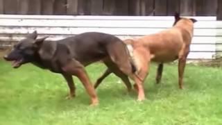 krycia psów i hodowli raz pierwszy w domu twarde