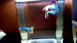 видео Вода для аквариума - Мафия Betta Splendens Рыбка Петушок