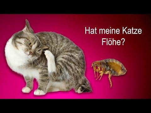 Flöhe bei der Katze - wie finde ich sie und wie kann ich vorbeugen?