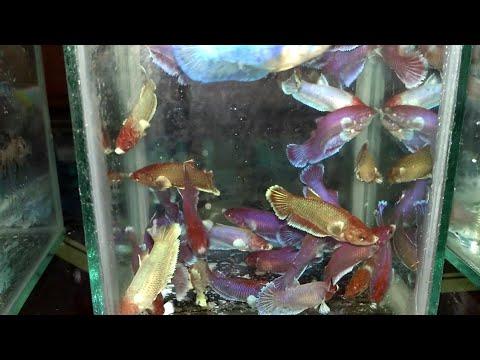 Belanja ikan cupang dumbo ear dan cupang koi - YouTube