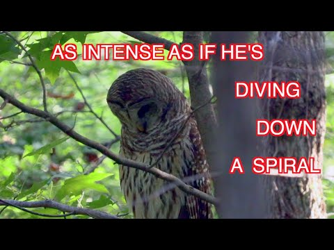 A Barred Owl Hunting: NARRATED