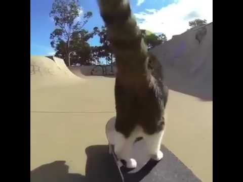 Skateboard Cat vine