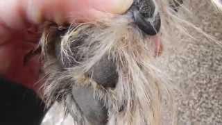 Cairn Terrier Grooming