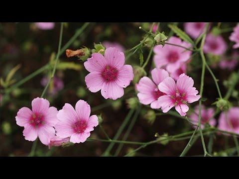 Лекарственные растения Алтей армянский (лат. Althaea Armeniaca)