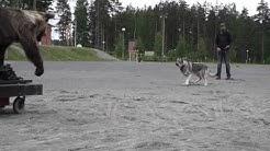 Koirasusi narttu karhutesti