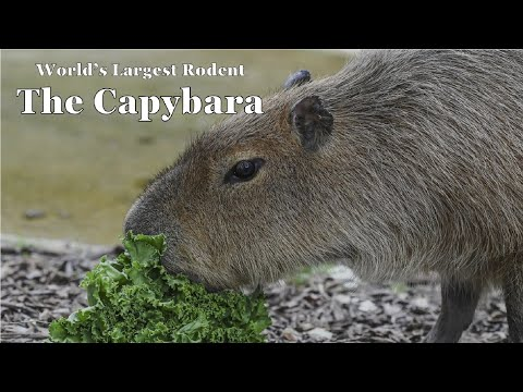 The Largest Rodent; the Capybara (Scovill Zoo) - Episode 145