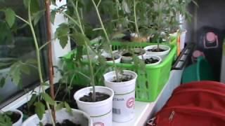 Как правильно прищипывать огурец.  Огурцы рассада выращивание.