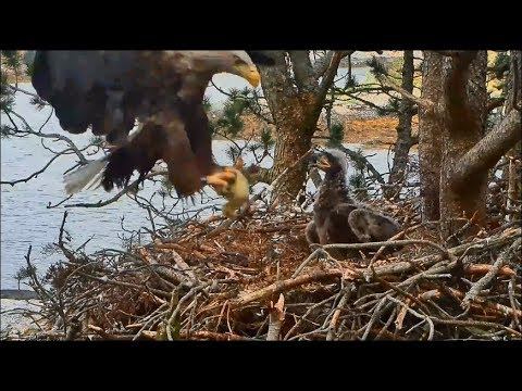 Smola Norway Eagle Cam ~ Baron Brings In Live Goose Chick Disclaimer 5.24.18