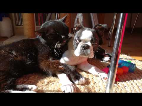 Boston Terrier cuddling with cat