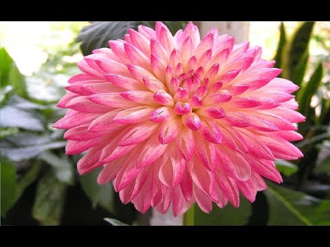 Top 5 Most Beautiful Flowers in The World | Beautiful Flowers | Relaxing video