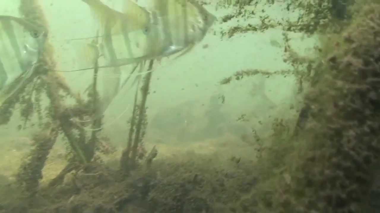 arapiuns golden scalare angel fish youtube