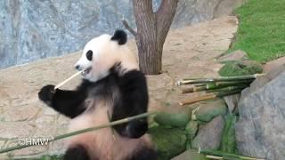 【竹の選り好み激しい🐼結浜姫】これ違うポイッ!ポイッ!グルメな1歳11ヶ月Yuihin is a very fussy eater! thumbnail