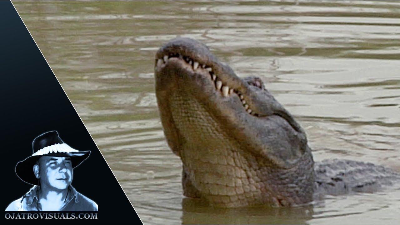 American Alligator Mating Season 01 Footage