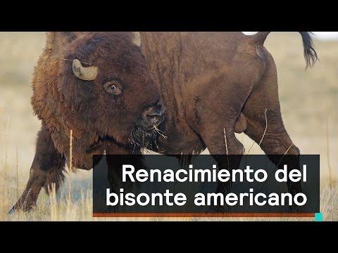 Por el planeta: El renacimiento del bisonte americano