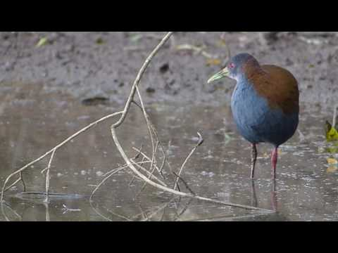 saracura fauna brasileira SIRICOIA CALMA animal selvagem silvestre pantanal world wildlife brazilian