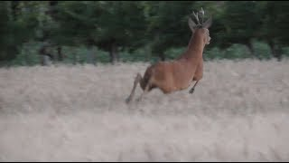 Wildlife in Vienna - Jumping Deer