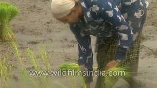 Women transplant rice paddy in Assam : archival footage before green revolution