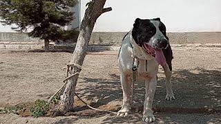 Бархан Авторитетный Кобель линия ГараБаш Анна Доктор Туркменский Волкодав Alabay Work Dogs Alabai
