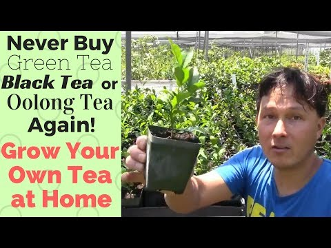 Never Buy Green, Black or Oolong Tea Again! How to Grow Your