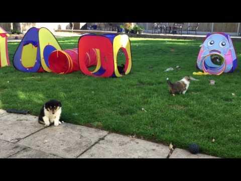 Rough Collie Puppies June 2017