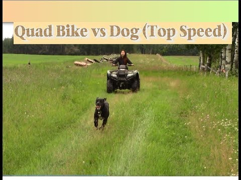 Quad Bike vs Dog (top speed)