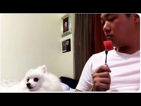 Pomeranian Dog Loves Watermelon | Puppy Eyes