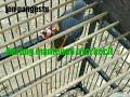 Suara Pancingan Dan Pikat Jitu Burung Mantenan Trici  Mp3 - Mp4 Download