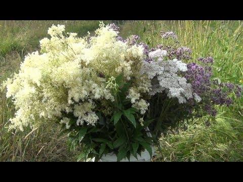 Трава Барвинок - лечебные свойства, применение и