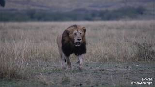 Notch2 chase initial, of SRM nomad, Maasai Mara, ROAR