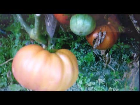 Обзор томатов открытого грунта (28 08 2019) ЧАСТЬ 1